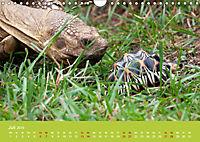 Meine Schildkröten (Wandkalender 2019 DIN A4 quer) - Produktdetailbild 7