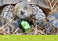 Meine Schildkröten (Wandkalender 2019 DIN A4 quer) - Produktdetailbild 11