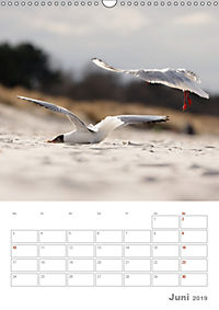 Möwen - die Vögel der Küste (Wandkalender 2019 DIN A3 hoch) - Produktdetailbild 6