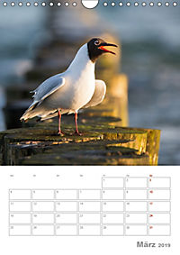 Möwen - die Vögel der Küste (Wandkalender 2019 DIN A4 hoch) - Produktdetailbild 3