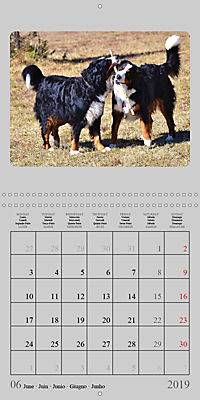 Moments with the Bernese Mountain Dogs (Wall Calendar 2019 300 × 300 mm Square) - Produktdetailbild 6
