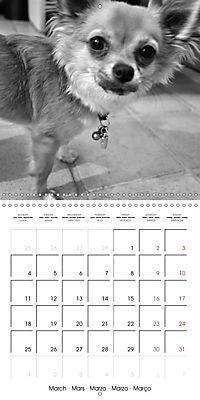 My Little Chihuahua (Wall Calendar 2019 300 × 300 mm Square) - Produktdetailbild 3