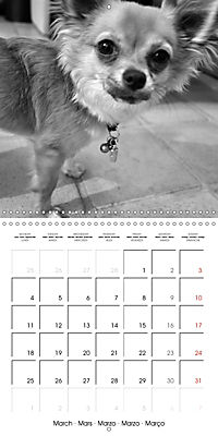 My Little Chihuahua (Wall Calendar 2019 300 × 300 mm Square) - Produktdetailbild 3
