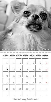 My Little Chihuahua (Wall Calendar 2019 300 × 300 mm Square) - Produktdetailbild 5
