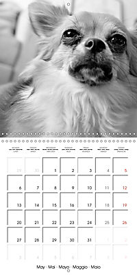 My Little Chihuahua (Wall Calendar 2019 300 × 300 mm Square) - Produktdetailbild 5