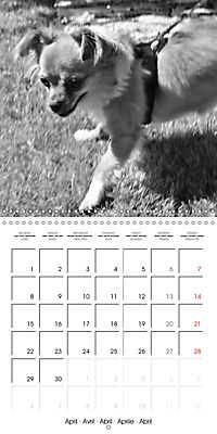 My Little Chihuahua (Wall Calendar 2019 300 × 300 mm Square) - Produktdetailbild 4