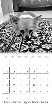 My Little Chihuahua (Wall Calendar 2019 300 × 300 mm Square) - Produktdetailbild 9