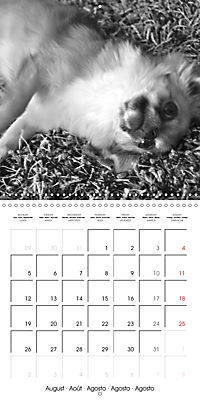 My Little Chihuahua (Wall Calendar 2019 300 × 300 mm Square) - Produktdetailbild 8