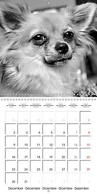 My Little Chihuahua (Wall Calendar 2019 300 × 300 mm Square) - Produktdetailbild 12