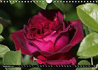 My love for Roses (Wall Calendar 2019 DIN A4 Landscape) - Produktdetailbild 9