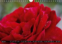 My love for Roses (Wall Calendar 2019 DIN A4 Landscape) - Produktdetailbild 7