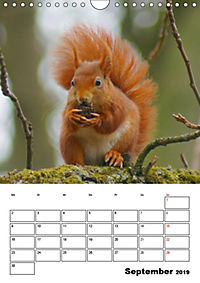 Niedliche Eichhörnchen (Wandkalender 2019 DIN A4 hoch) - Produktdetailbild 9
