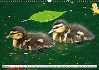 Niedliche Entenküken (Wandkalender 2019 DIN A3 quer) - Produktdetailbild 3