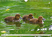 Niedliche Entenküken (Wandkalender 2019 DIN A4 quer) - Produktdetailbild 8