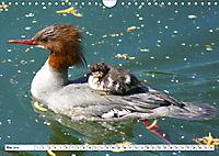 Niedliche Entenküken (Wandkalender 2019 DIN A4 quer) - Produktdetailbild 5
