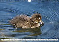 Niedliche Entenküken (Wandkalender 2019 DIN A4 quer) - Produktdetailbild 4