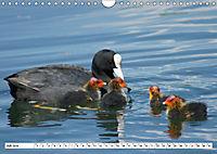 Niedliche Entenküken (Wandkalender 2019 DIN A4 quer) - Produktdetailbild 7