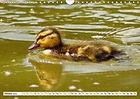 Niedliche Entenküken (Wandkalender 2019 DIN A4 quer) - Produktdetailbild 10