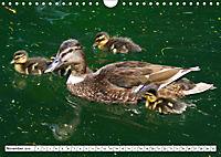 Niedliche Entenküken (Wandkalender 2019 DIN A4 quer) - Produktdetailbild 11