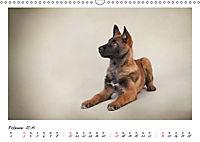 Niedliche Malinois Welpen (Wandkalender 2019 DIN A3 quer) - Produktdetailbild 2