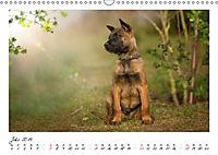 Niedliche Malinois Welpen (Wandkalender 2019 DIN A3 quer) - Produktdetailbild 7