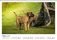 Niedliche Malinois Welpen (Wandkalender 2019 DIN A3 quer) - Produktdetailbild 10