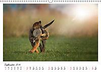Niedliche Malinois Welpen (Wandkalender 2019 DIN A3 quer) - Produktdetailbild 9