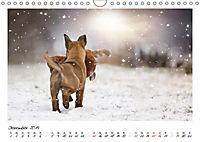 Niedliche Malinois Welpen (Wandkalender 2019 DIN A4 quer) - Produktdetailbild 6