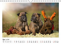 Niedliche Malinois Welpen (Wandkalender 2019 DIN A4 quer) - Produktdetailbild 13