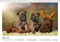 Niedliche Malinois Welpen (Wandkalender 2019 DIN A4 quer) - Produktdetailbild 4