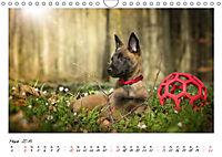 Niedliche Malinois Welpen (Wandkalender 2019 DIN A4 quer) - Produktdetailbild 3