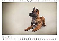Niedliche Malinois Welpen (Wandkalender 2019 DIN A4 quer) - Produktdetailbild 2
