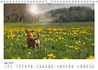 Niedliche Malinois Welpen (Wandkalender 2019 DIN A4 quer) - Produktdetailbild 5