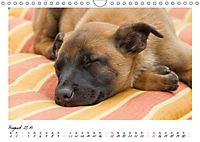 Niedliche Malinois Welpen (Wandkalender 2019 DIN A4 quer) - Produktdetailbild 8