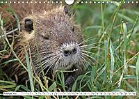 NUTRIA mit Nachwuchs (Wandkalender 2019 DIN A4 quer) - Produktdetailbild 2