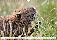 NUTRIA mit Nachwuchs (Wandkalender 2019 DIN A4 quer) - Produktdetailbild 6