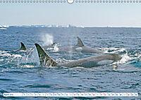 Orcas: Schwarz-weiße Giganten (Wandkalender 2019 DIN A3 quer) - Produktdetailbild 4