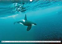 Orcas: Schwarz-weiße Giganten (Wandkalender 2019 DIN A3 quer) - Produktdetailbild 5