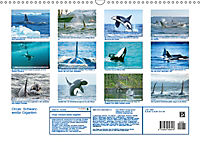 Orcas: Schwarz-weiße Giganten (Wandkalender 2019 DIN A3 quer) - Produktdetailbild 13