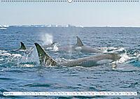 Orcas: Schwarz-weiße Giganten (Wandkalender 2019 DIN A2 quer) - Produktdetailbild 4