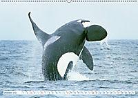Orcas: Schwarz-weiße Giganten (Wandkalender 2019 DIN A2 quer) - Produktdetailbild 10