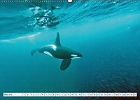 Orcas: Schwarz-weiße Giganten (Wandkalender 2019 DIN A2 quer) - Produktdetailbild 5