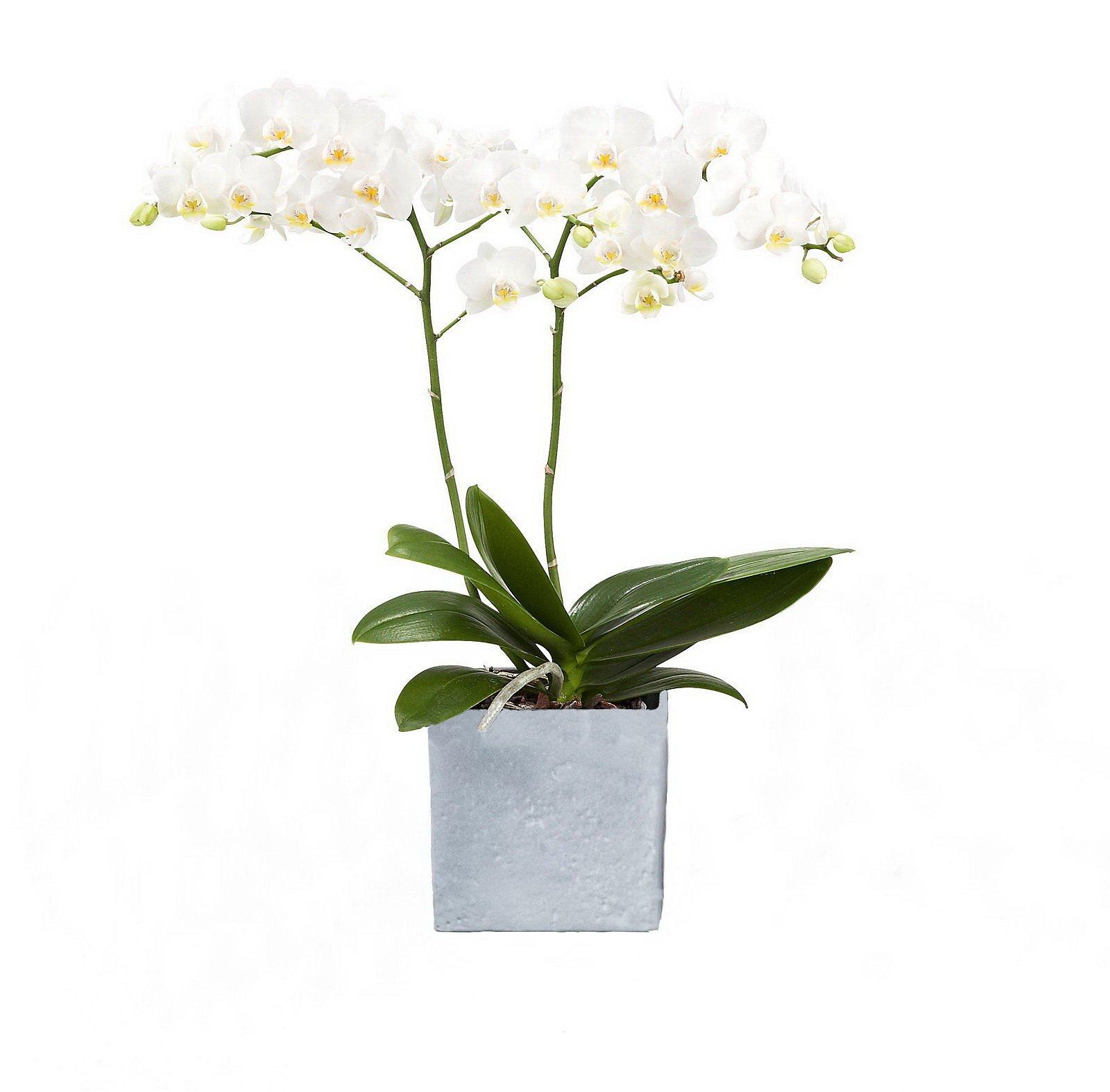 Orchidee Phalaenopsis Weiss Bluhend 2 Triebig 1 Pflanze 1