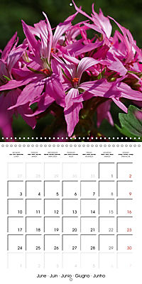 Pelargonium Dreams (Wall Calendar 2019 300 × 300 mm Square) - Produktdetailbild 6