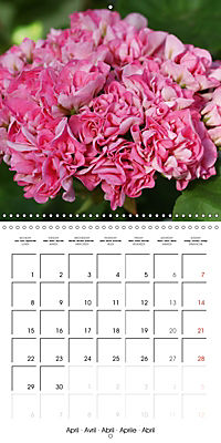 Pelargonium Dreams (Wall Calendar 2019 300 × 300 mm Square) - Produktdetailbild 4
