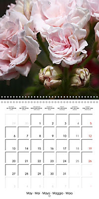 Pelargonium Dreams (Wall Calendar 2019 300 × 300 mm Square) - Produktdetailbild 5
