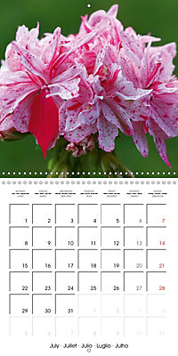 Pelargonium Dreams (Wall Calendar 2019 300 × 300 mm Square) - Produktdetailbild 7