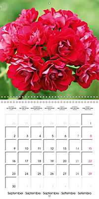Pelargonium Dreams (Wall Calendar 2019 300 × 300 mm Square) - Produktdetailbild 9