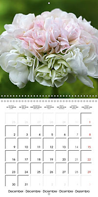Pelargonium Dreams (Wall Calendar 2019 300 × 300 mm Square) - Produktdetailbild 12