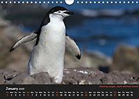 Penguins 2019 (Wall Calendar 2019 DIN A4 Landscape) - Produktdetailbild 1